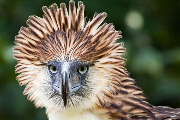 águila grande Águila filipina