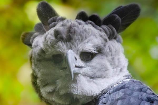 águilas grandes - Águila arpía