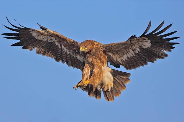 águilas más grandes del mundo