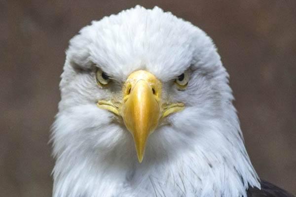 águilas más grandes - Águila calva americana
