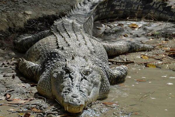 animal grande