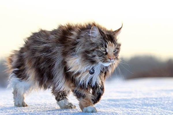 gato mas grande del mundo