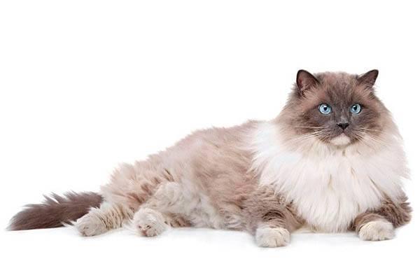 gato mas grande