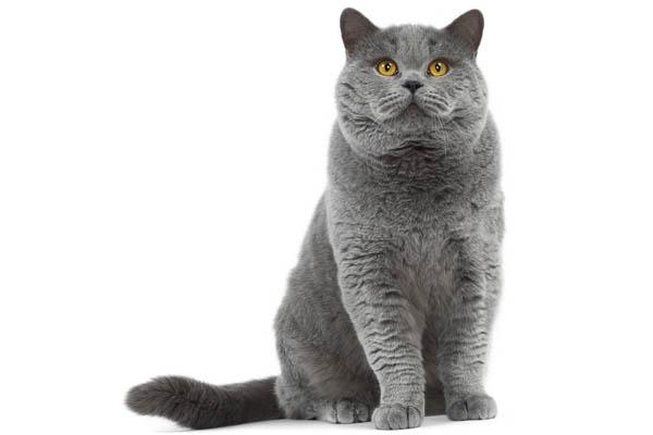 gato muy grande