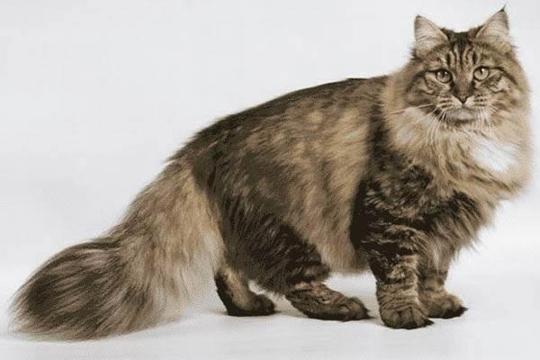 gatos mas grandes del mundo