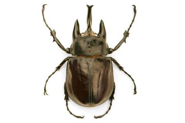 insecto grande del mundo