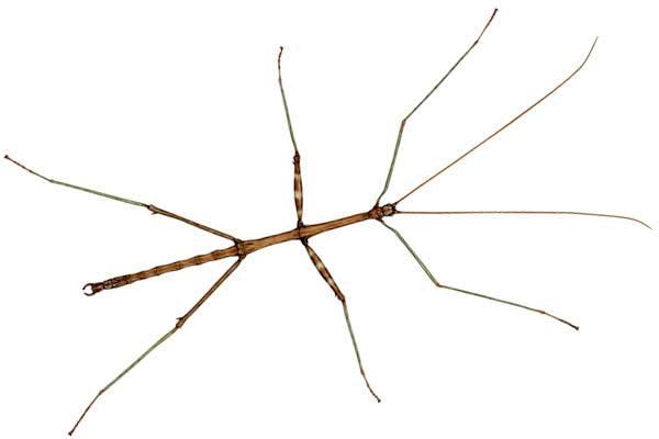 insecto más grande del mundo