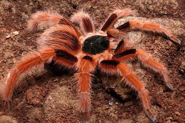 las arañas mas grandes del mundo