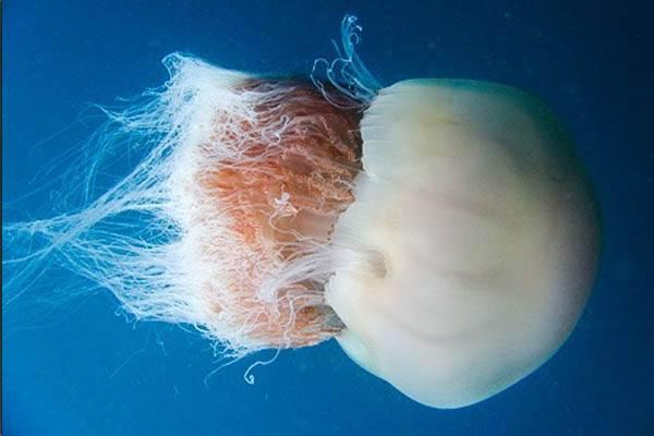 las medusas mas grandes del mundo