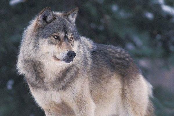 lobo mas grande del mundo