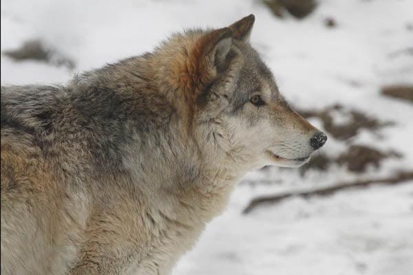 lobo mas grande