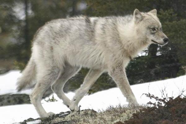 lobos grandes