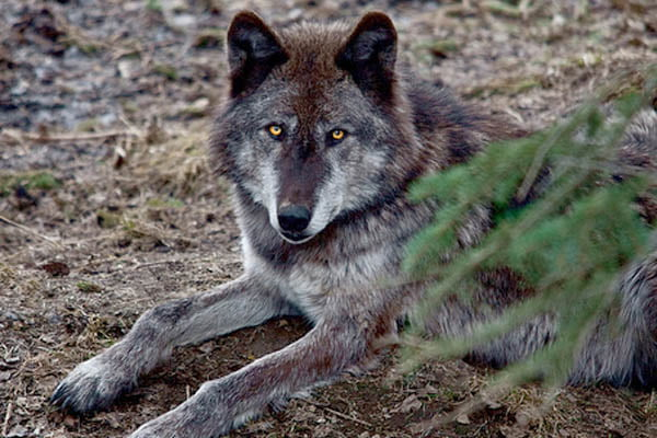lobos mas grandes
