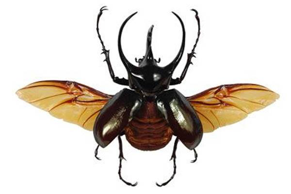 los insectos mas grandes
