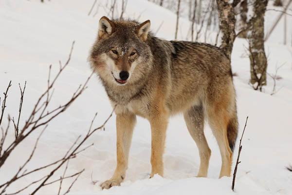 los lobos mas grandes