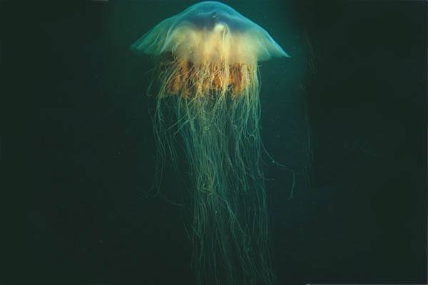 medusa más grande del mundo
