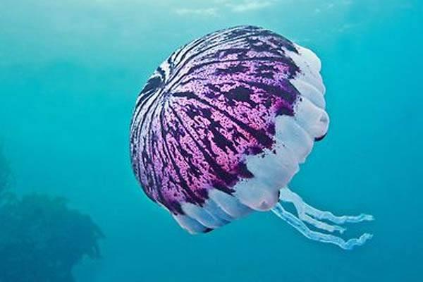 medusas más grande