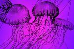 medusas más grandes del mundo