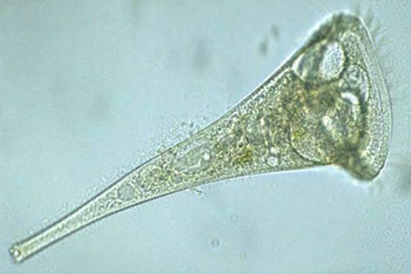 organismos unicelulares grandes