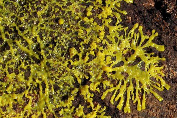 organismos unicelulares mas grandes del mundo