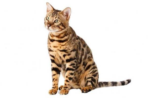 razas de gatos mas grandes