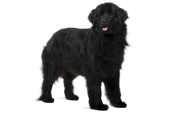 razas de perros mas grandes