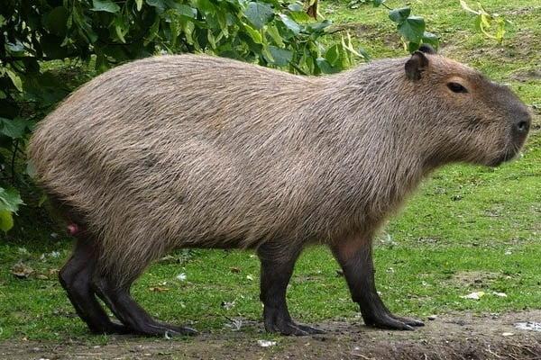 roedor más grande del mundo